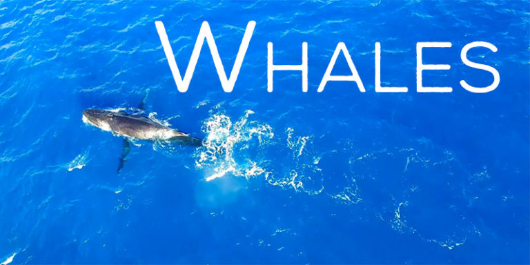 Our Aerial Whale Video - Watching From The Sky In 4K